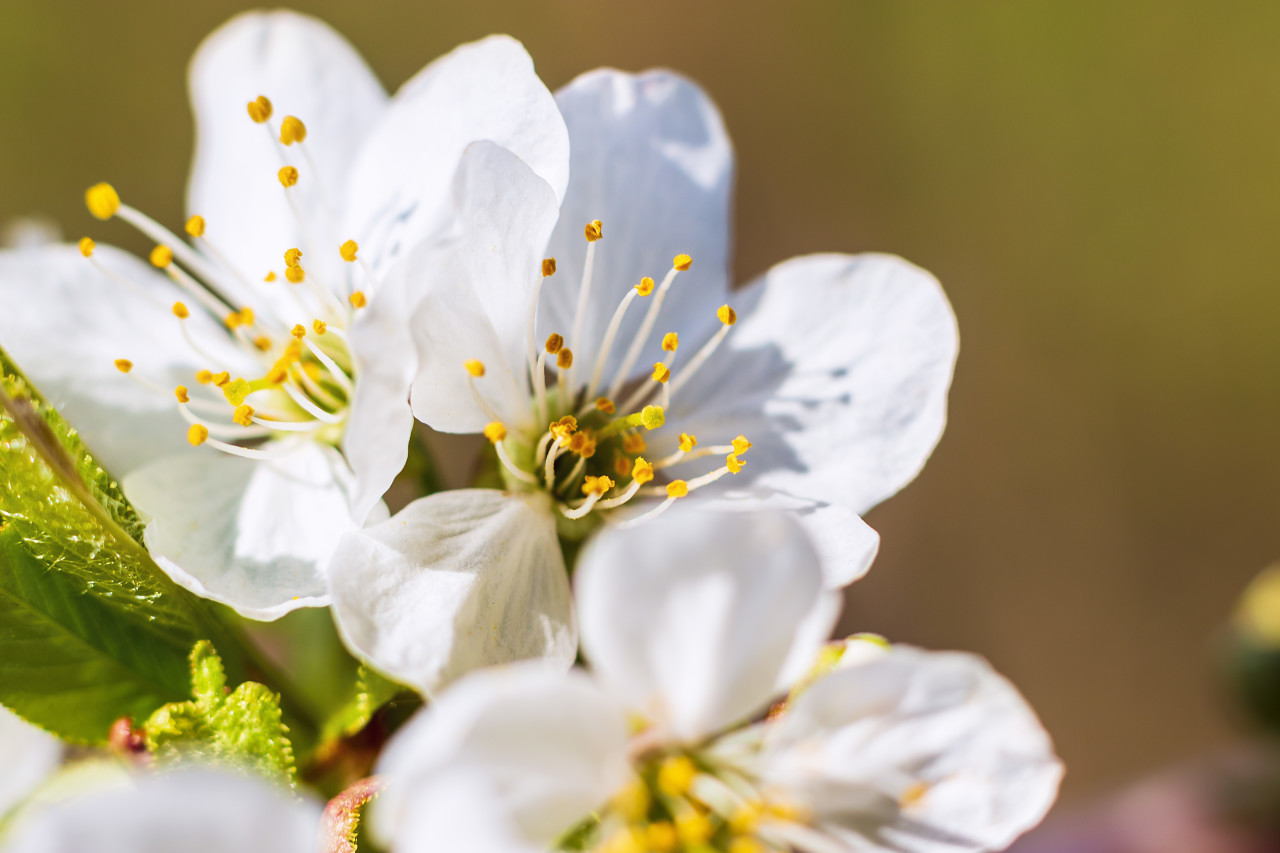 beautiful white cherry tree blossoms in april