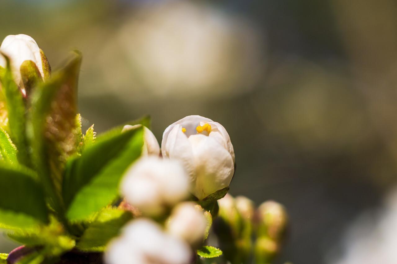 white cherry blossoms april