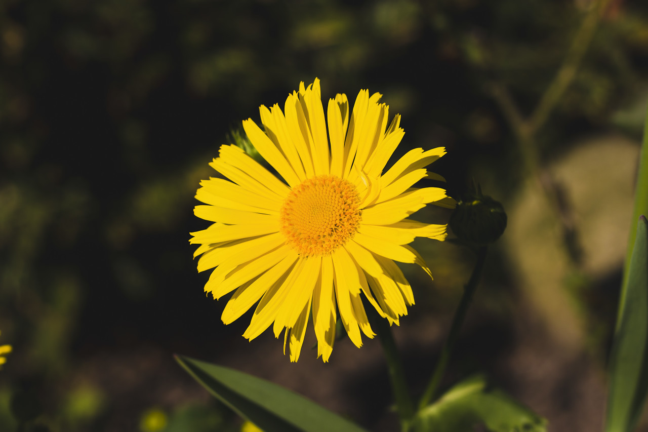 yellow daisy in april