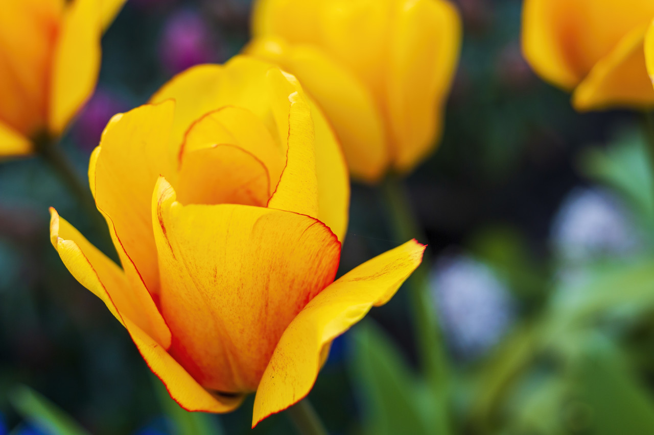 yellow tulips with a light red border