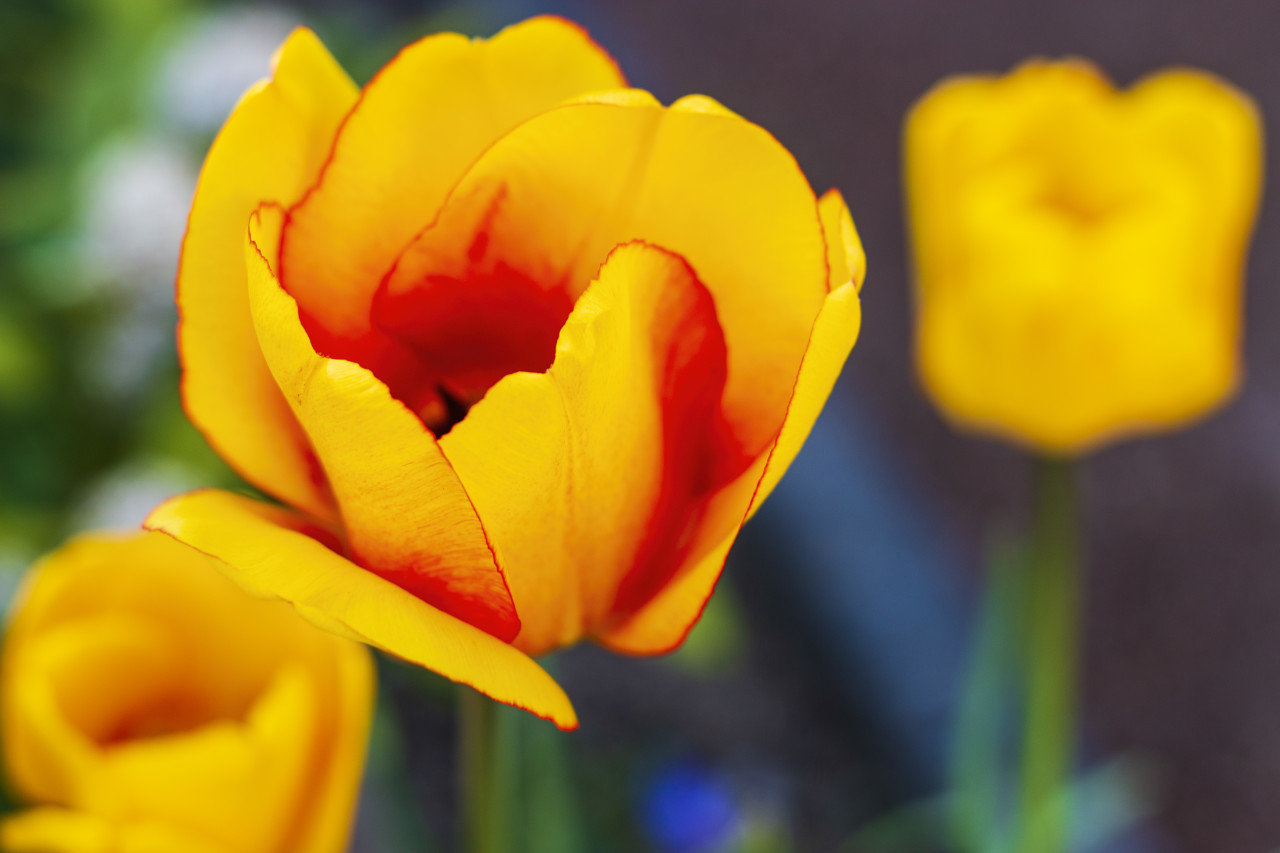 yellow tulips to the spring time in april