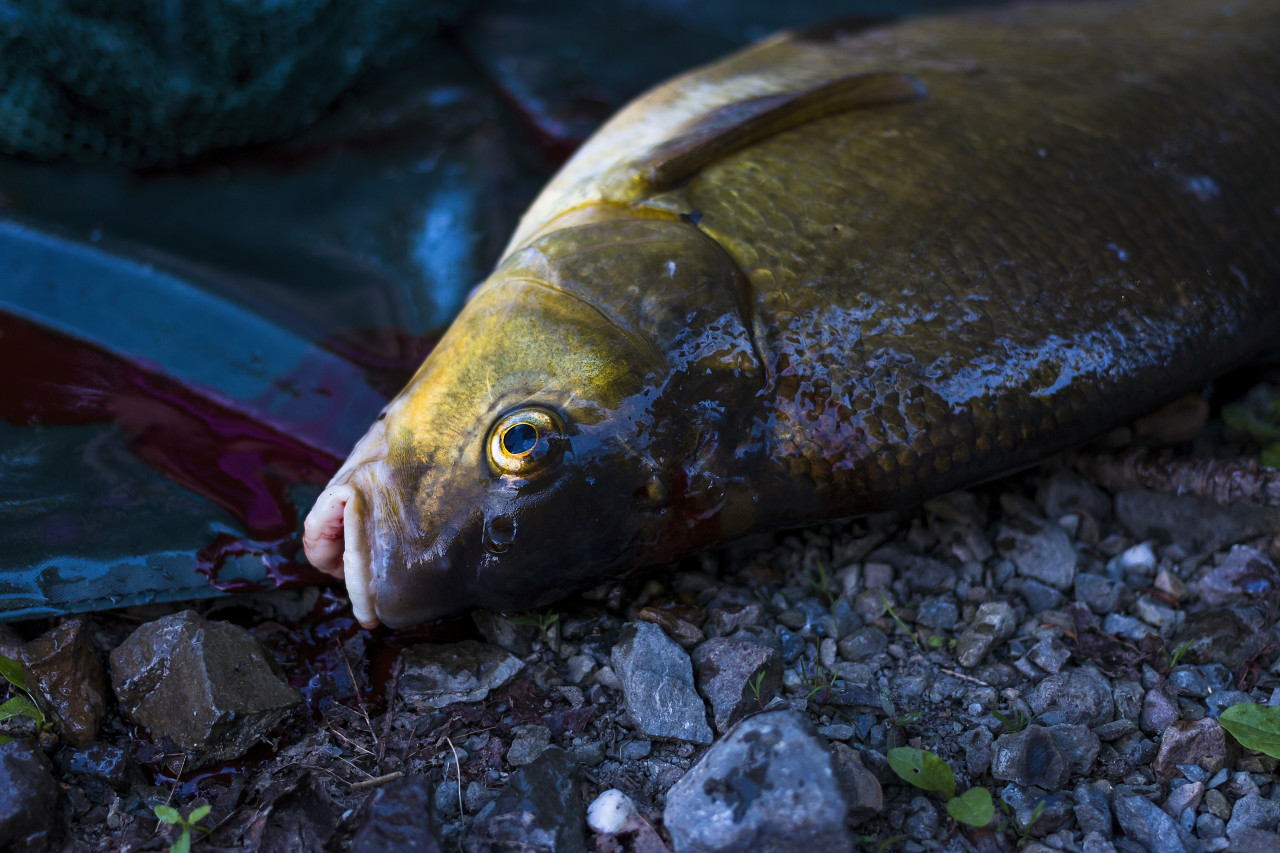 freshly caught carp