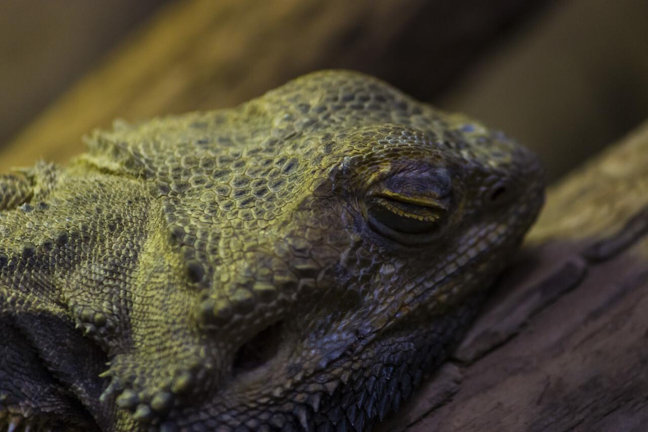 bearded dragon closed eyes