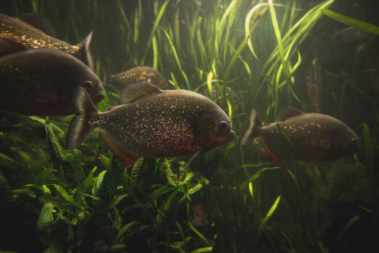 group of beautiful piranhas under the water