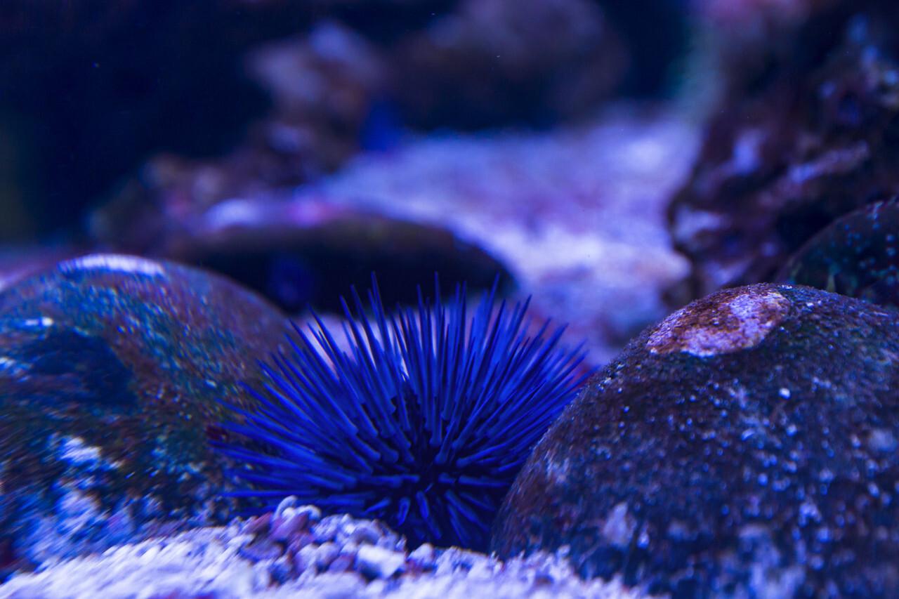 blue sea urchin