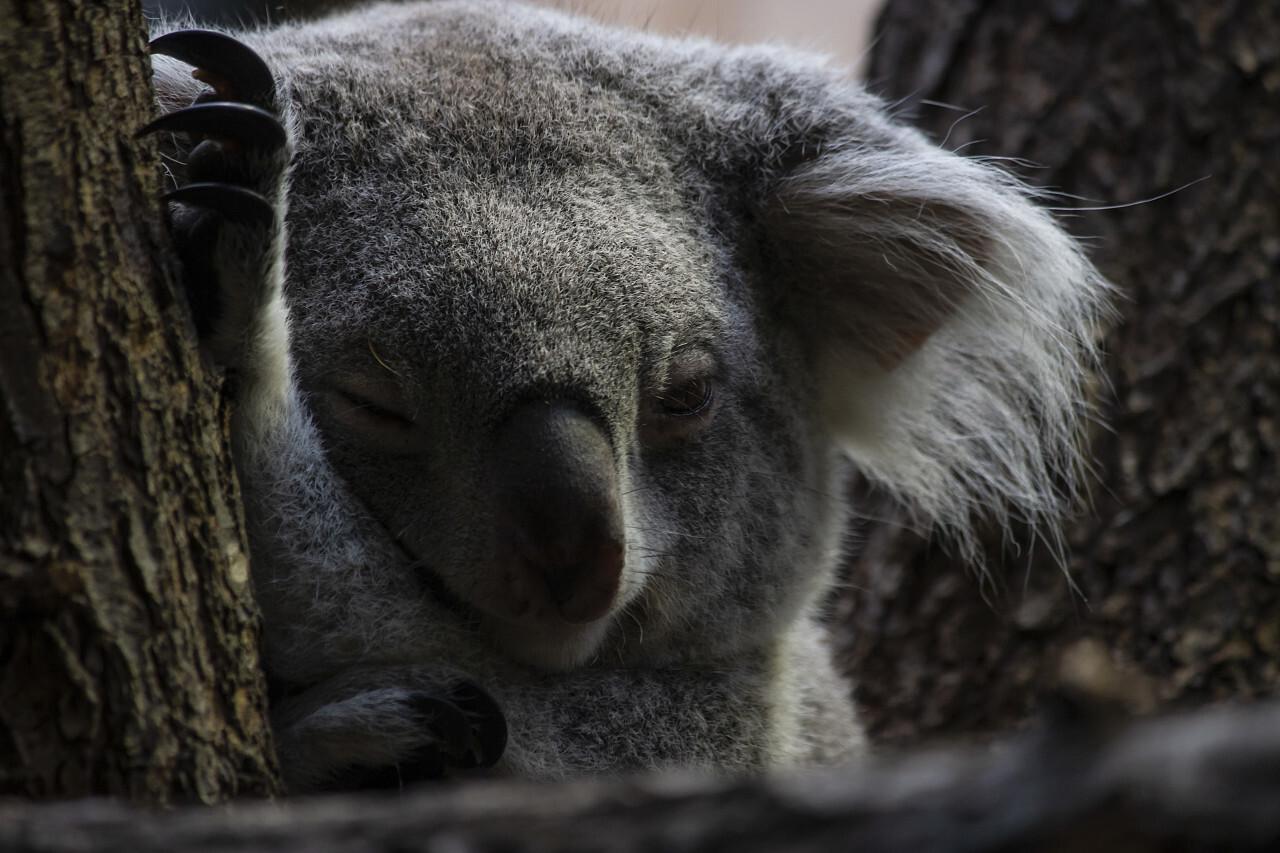 koala bear portrait