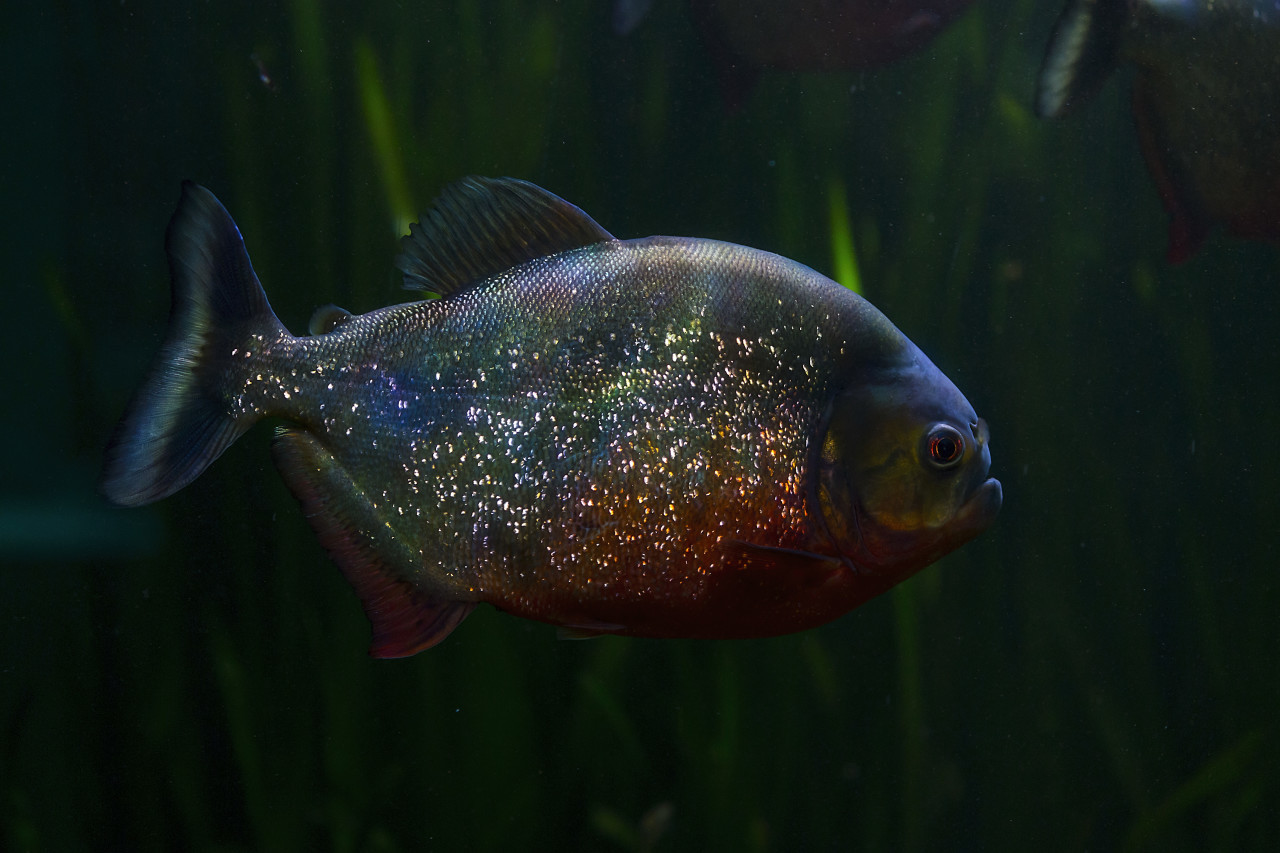 Red-bellied piranha, Pygocentrus altus, danger fish in the water with green water vegetation.