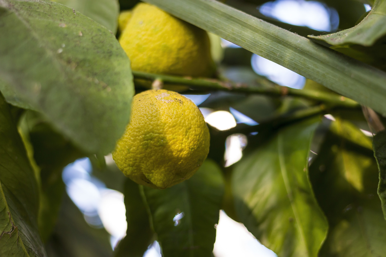 two lemons on the tree