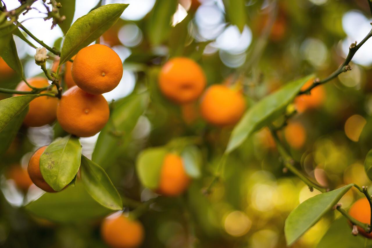 Closeup of satsumas (mandarins) ripening on tree