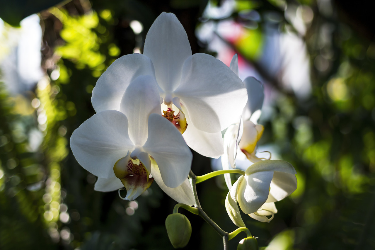 beautiful white blooming orchid flowers