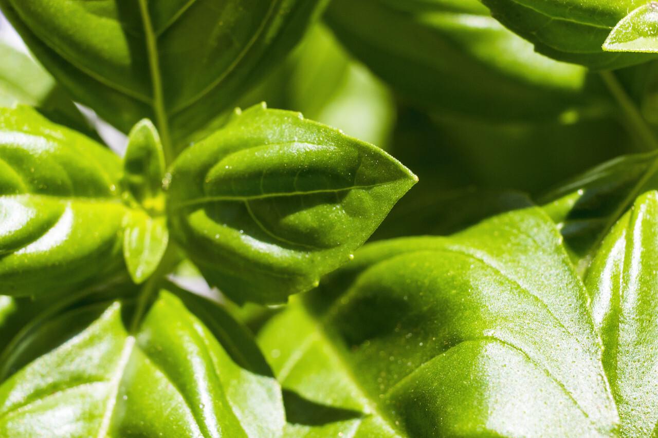healthy basil plant leaves