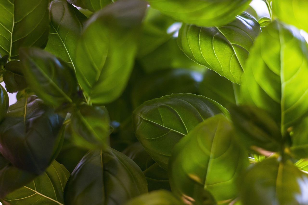 green basil background