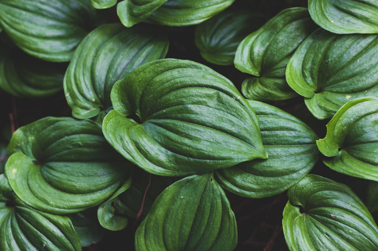 hosta green leaves background