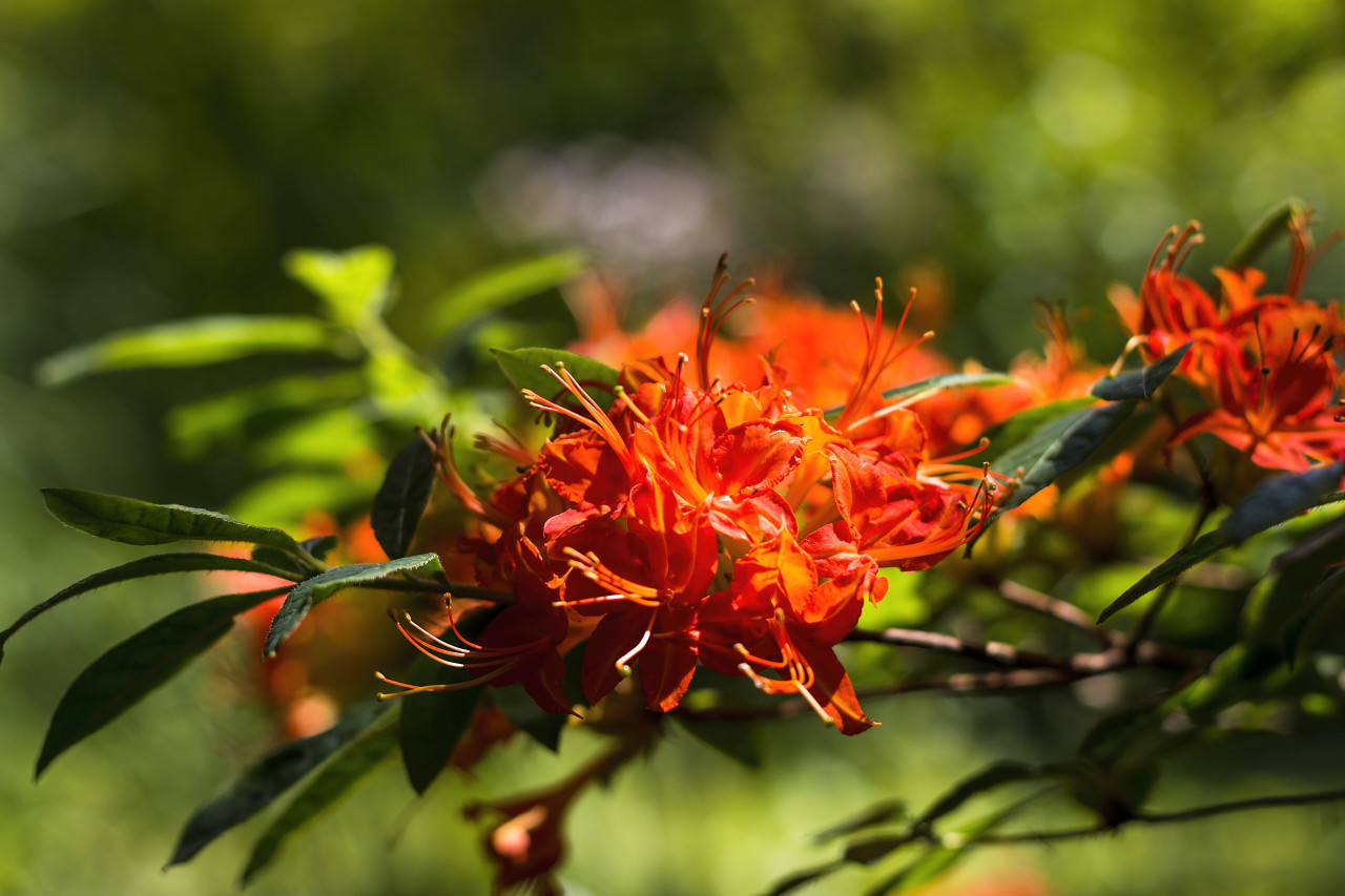 red flowering rhododendron