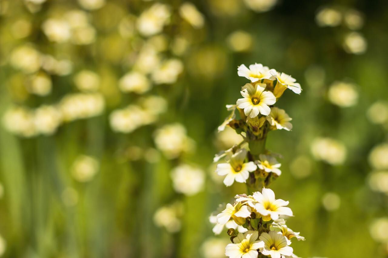 sisyrinchium striatum - pale yellow eyed grass - yellow flower in summer