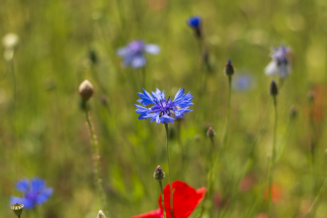 german wildflower meadow with blue cornflowers and red poppies