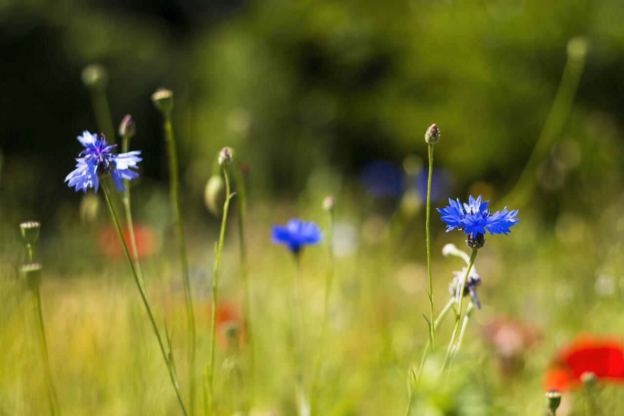 wildflower meadow cornflower and poppy