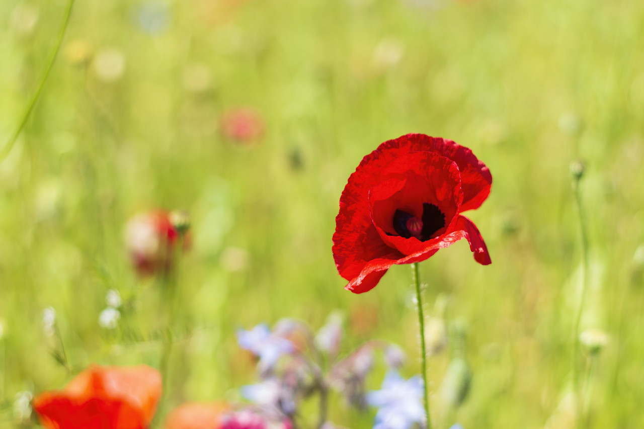 a poppy on a wildflower meadow