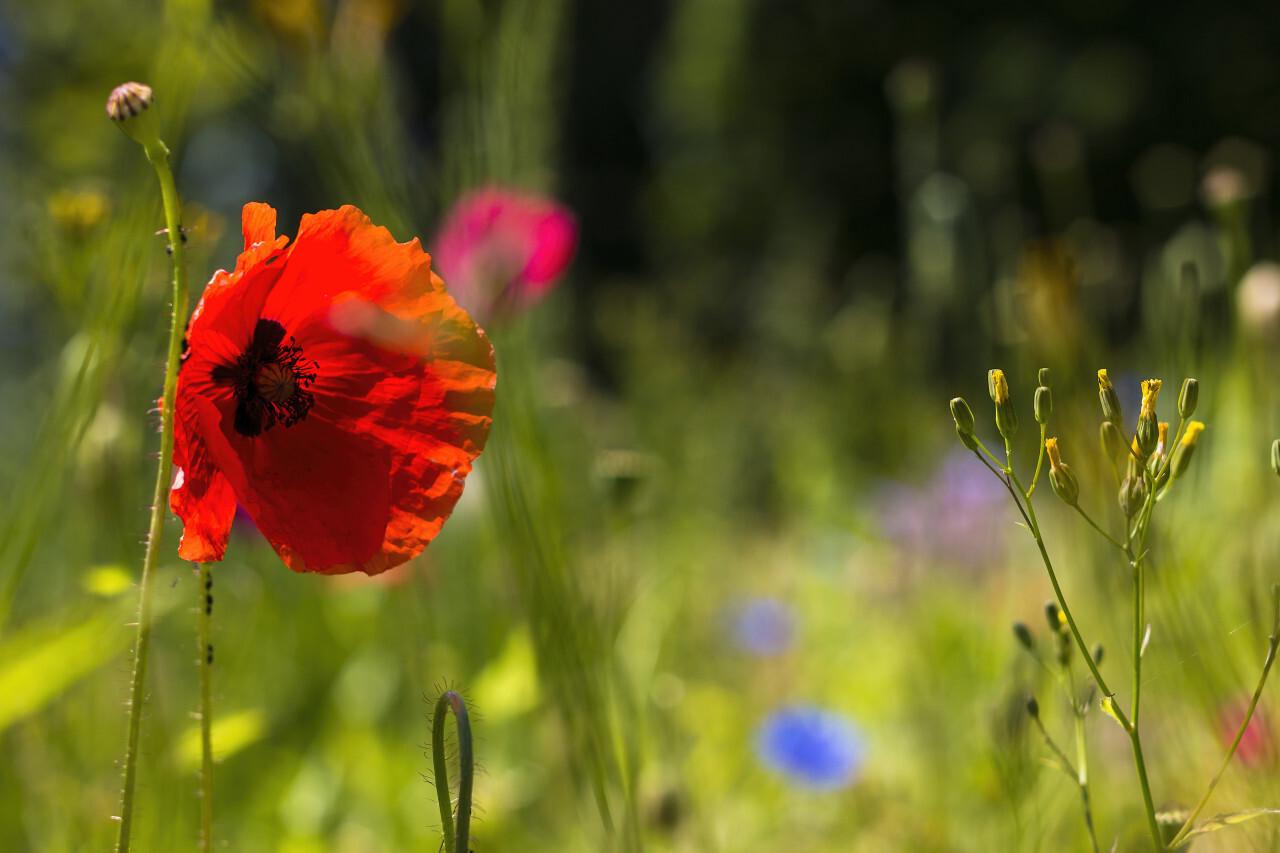 poppy on wildflower meadow