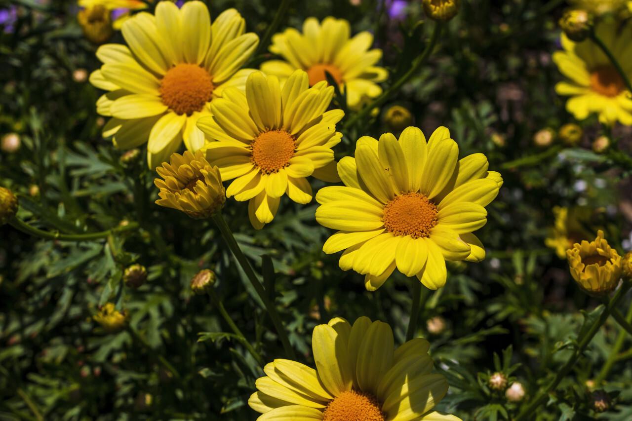 yellow argyranthemum flower in a garden