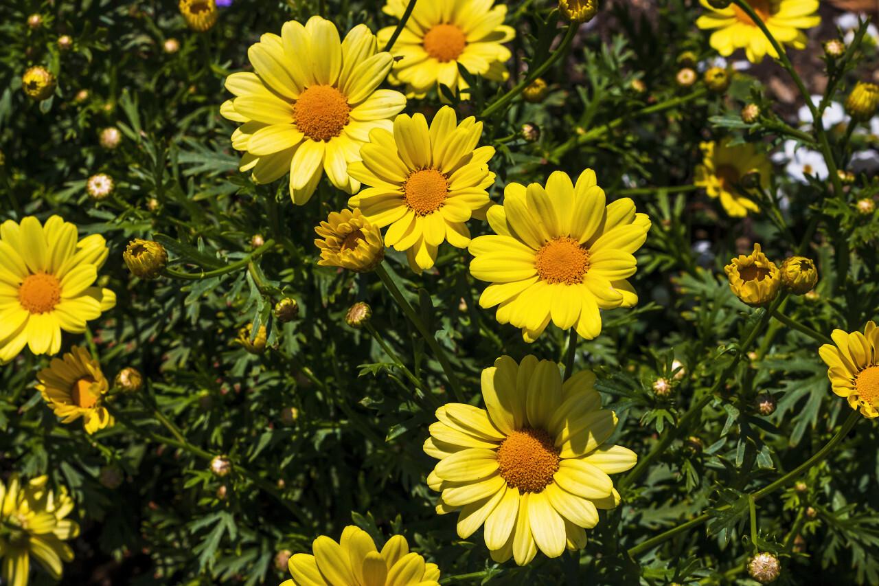 yellow argyranthemum