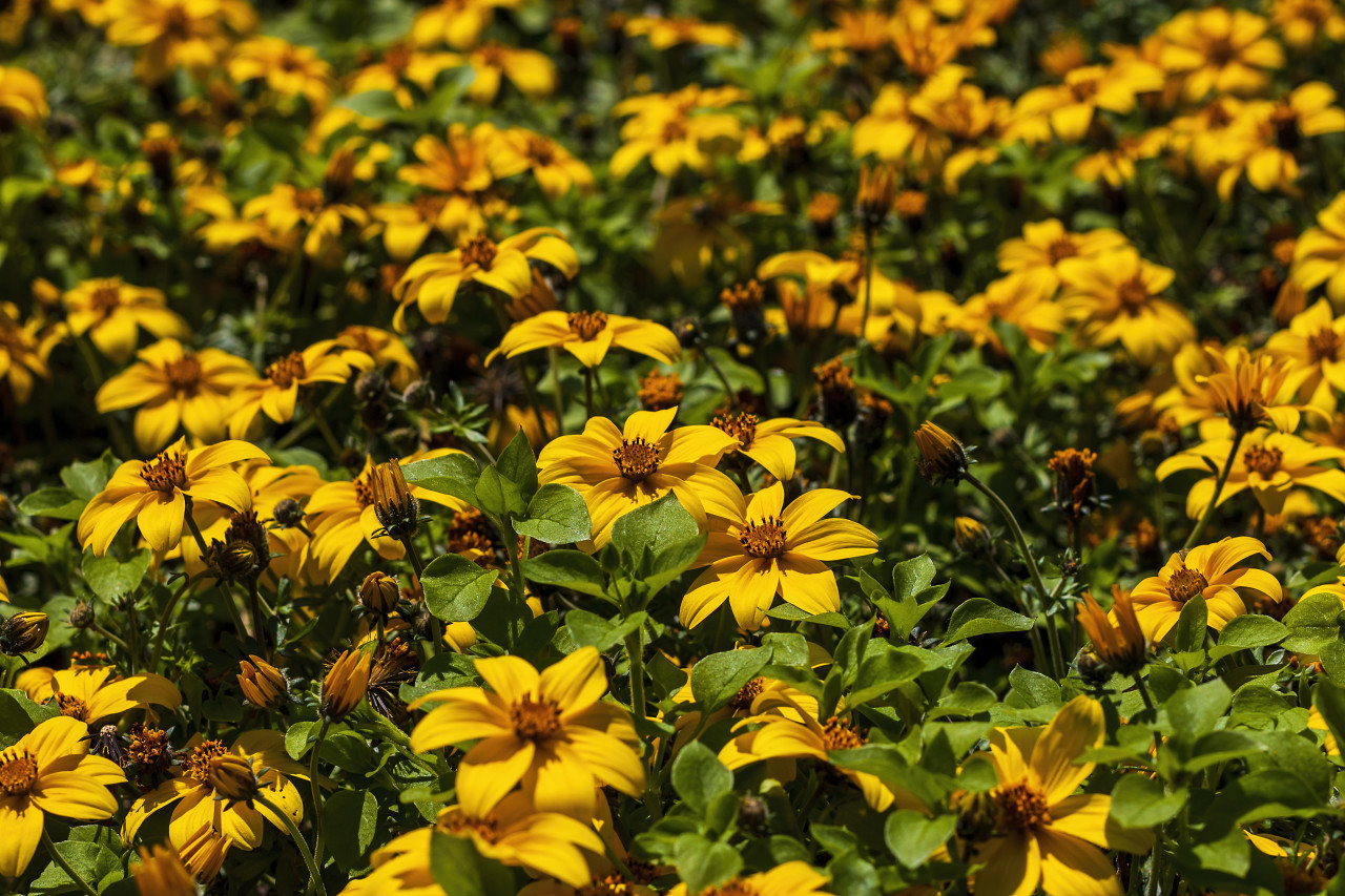 yellow bidens - beautiful summer flower background