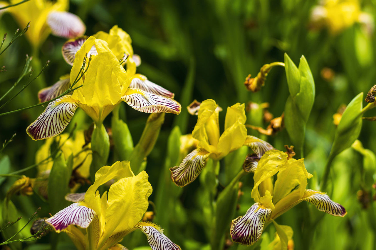 Yellow iris flower with blurred natural background, close-up