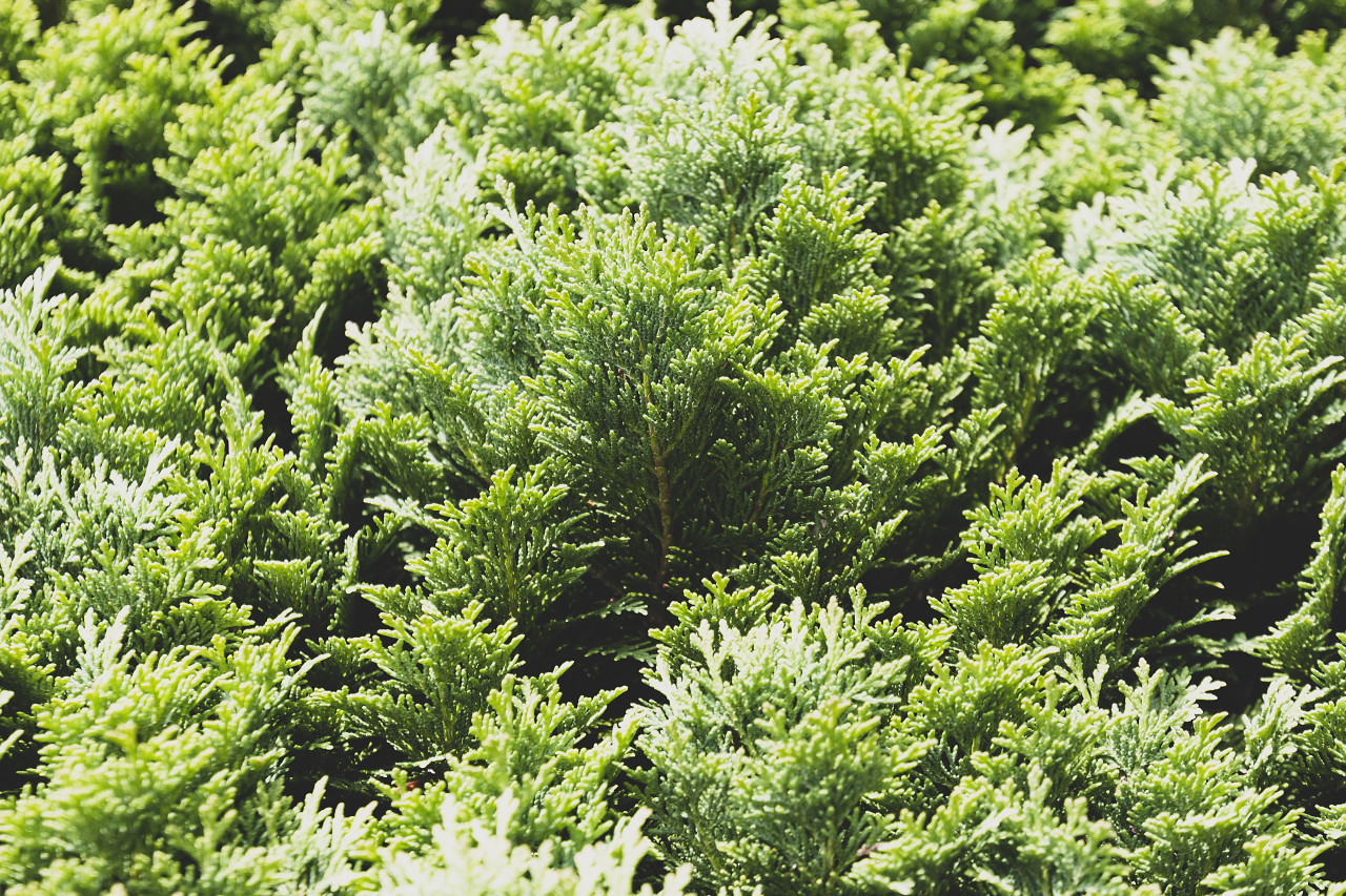 Close-up view of beautiful green juniper branches