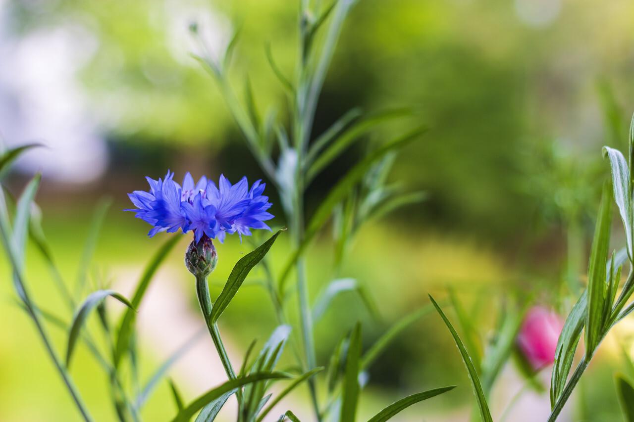 blue cornflower on a white flower meadow