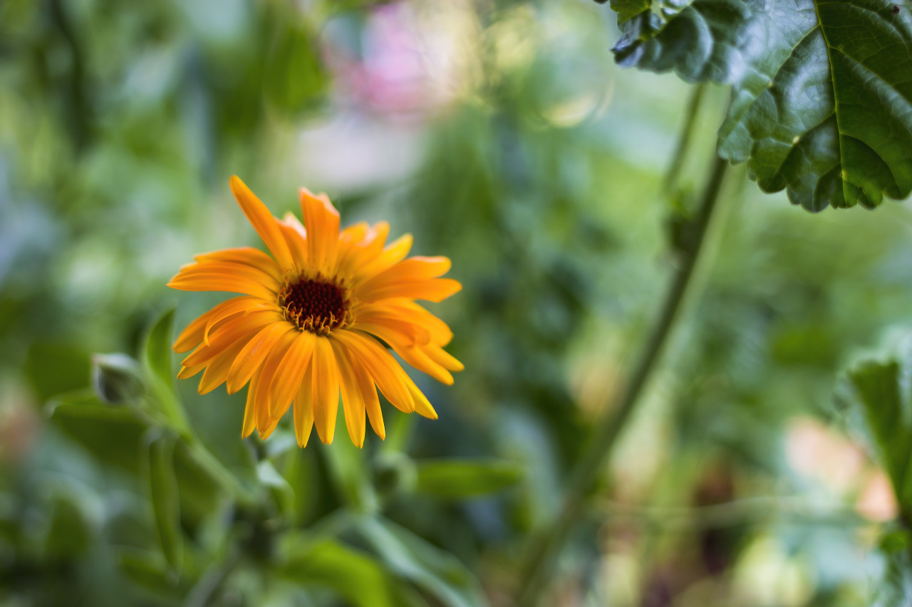 orange yellow beautiful blooming daisy flower in spring