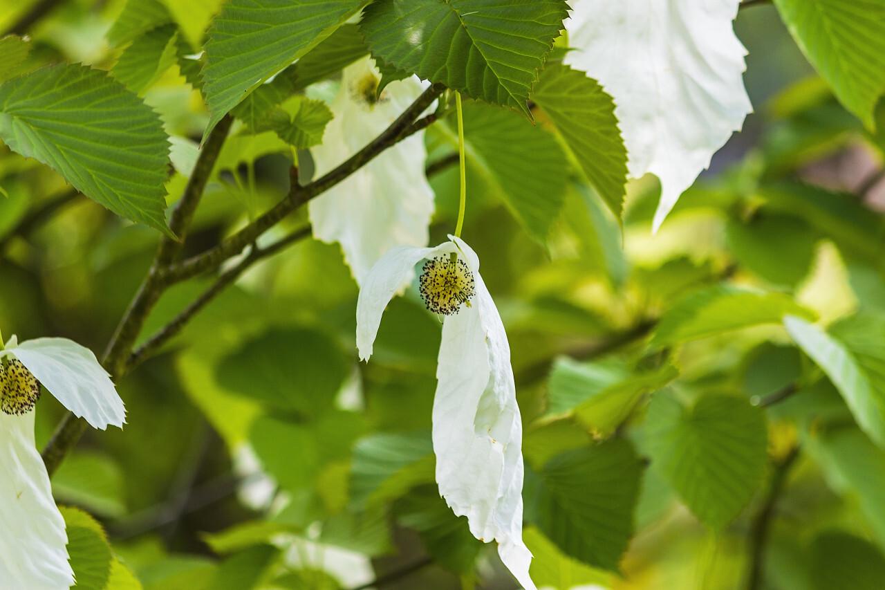 Davidia involucrata or handkerchief, dove-tree, ghost tree, with flowers