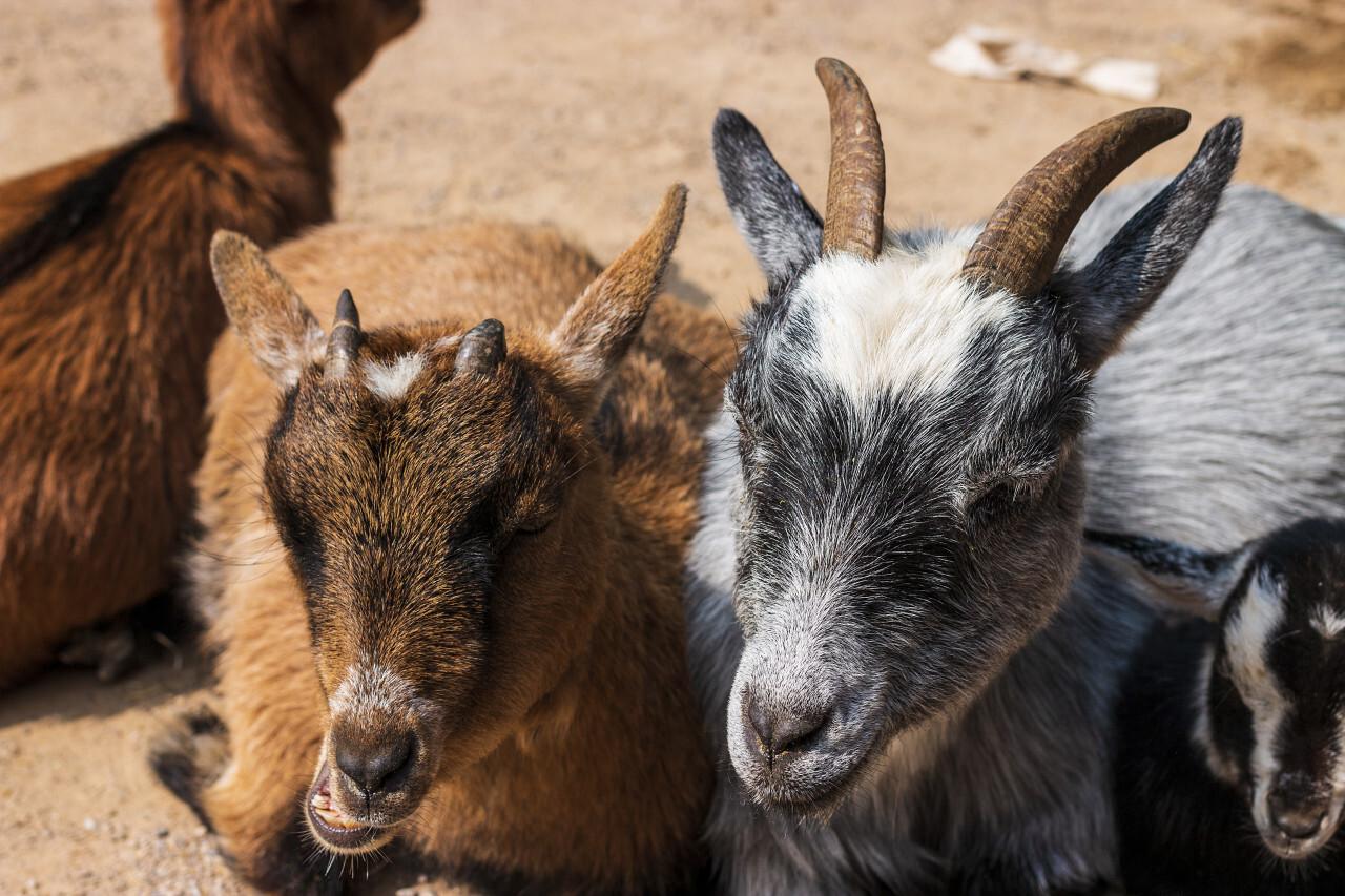 cute goat family portrait