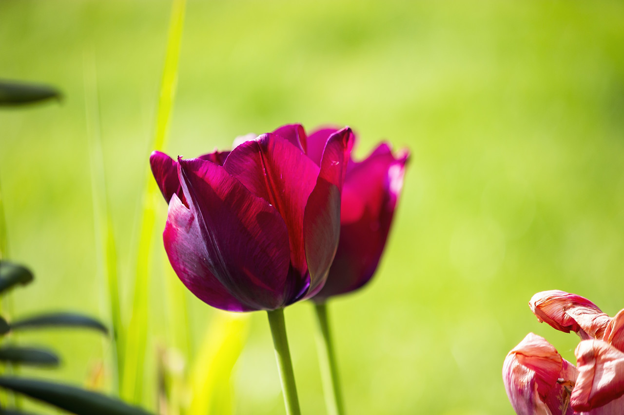 beautiful wine-red tulips close-up in summer