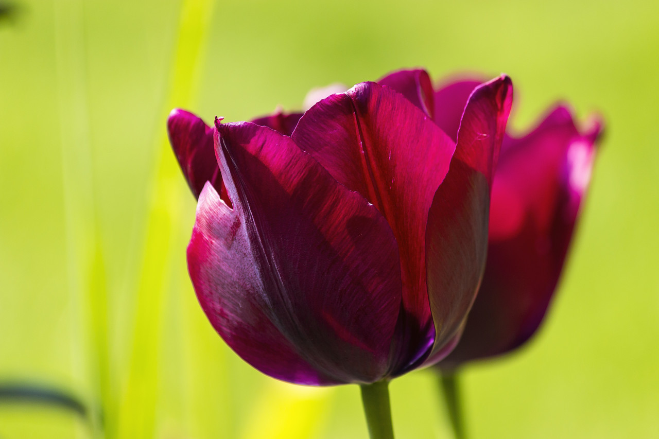 wine red tulips close up