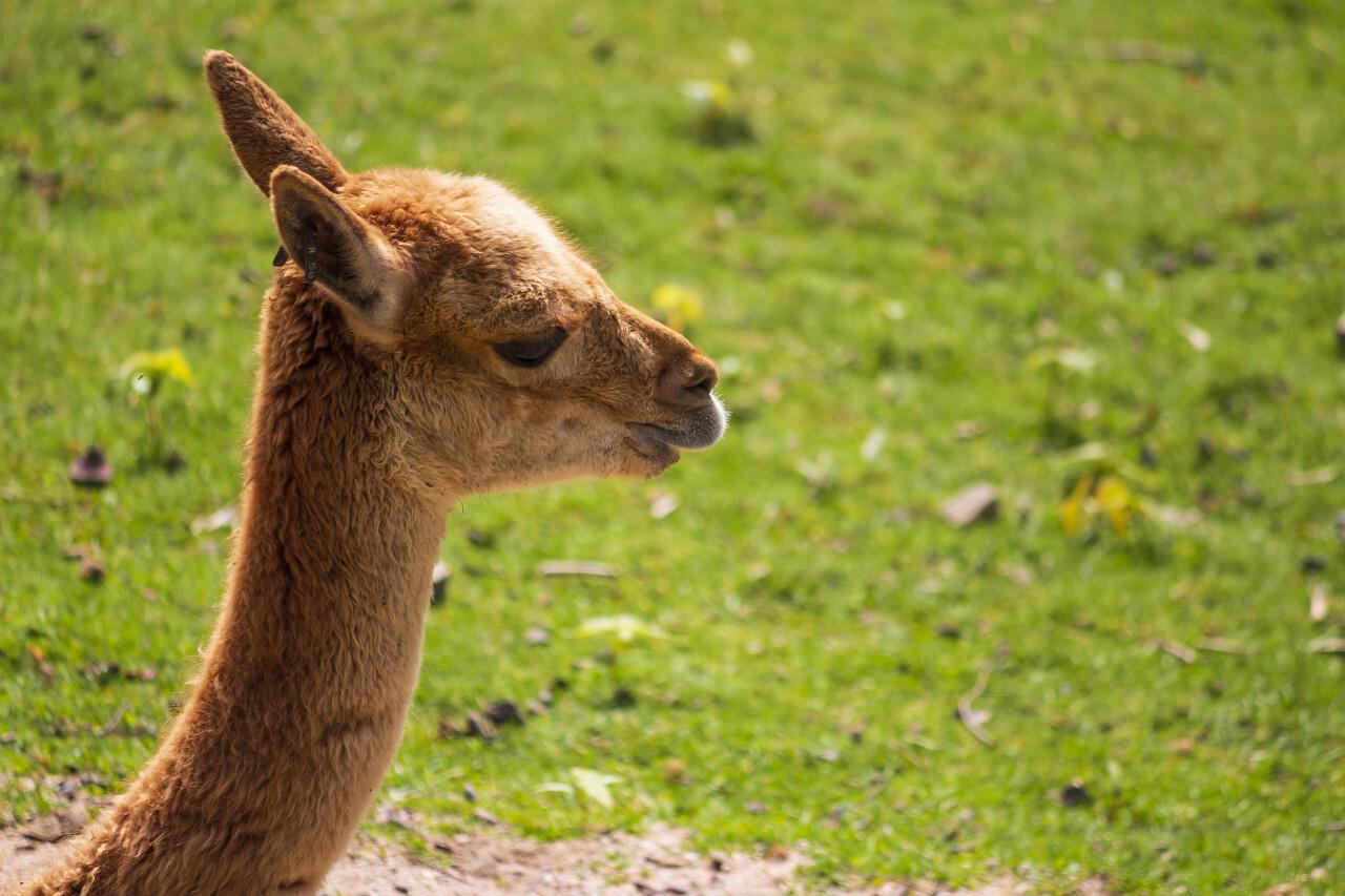 Alpaca portrait on beautiful green bokeh background