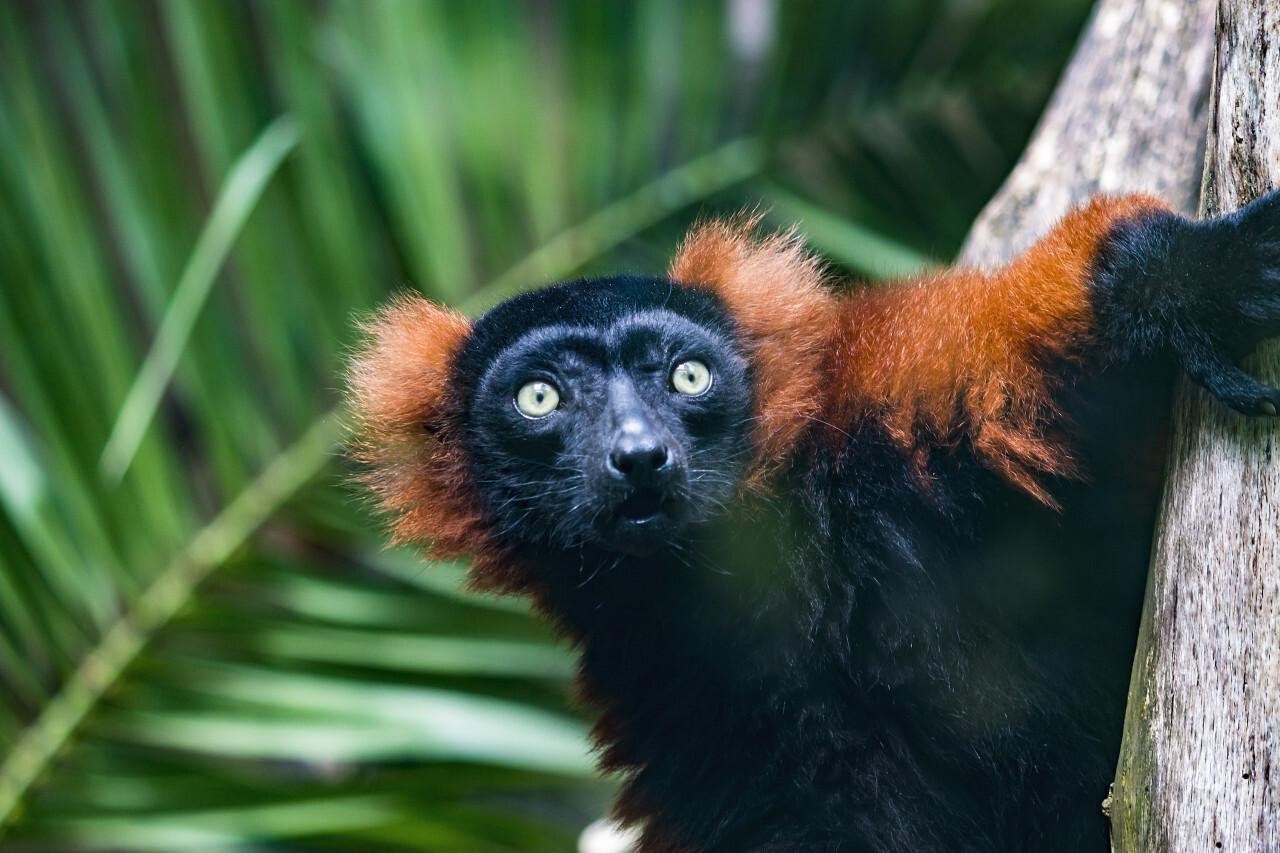 Close up of Golden-headed lion tamarin monkey on tree
