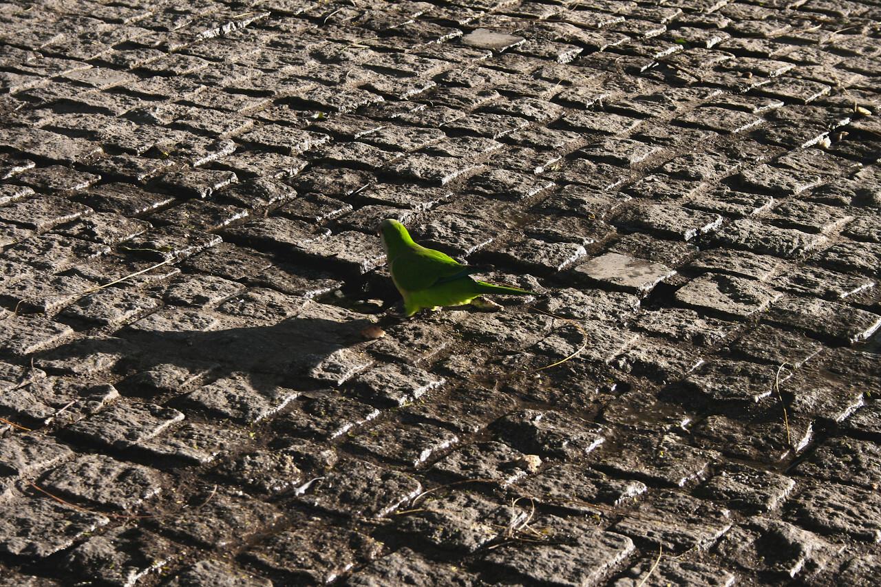 rose ringed parakeet in barcelona