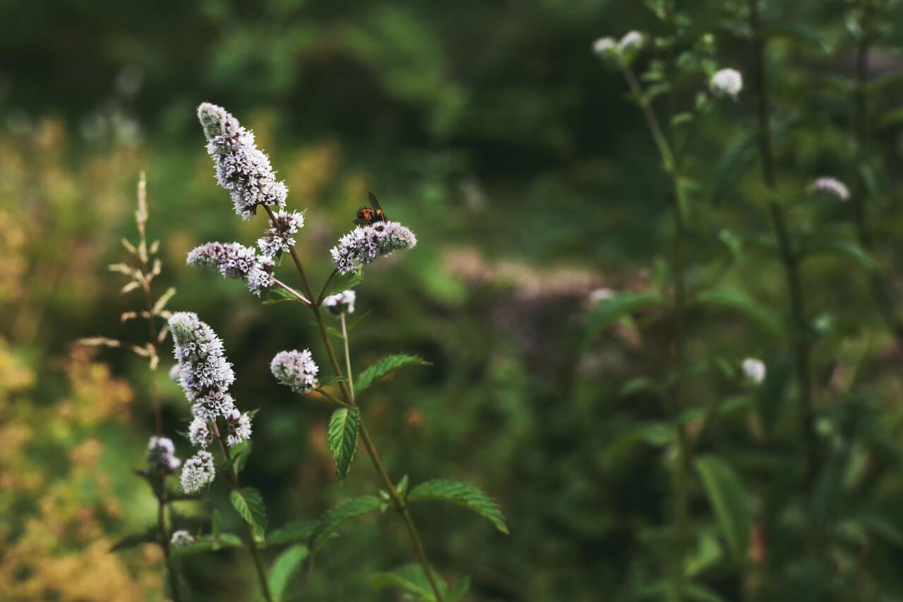 white flowering mint plant