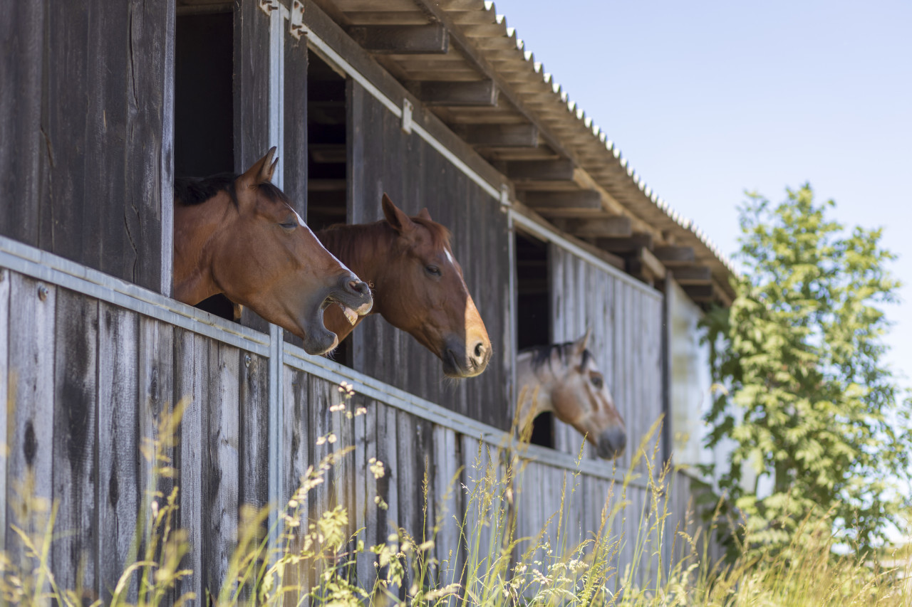 Cute horses in their stable