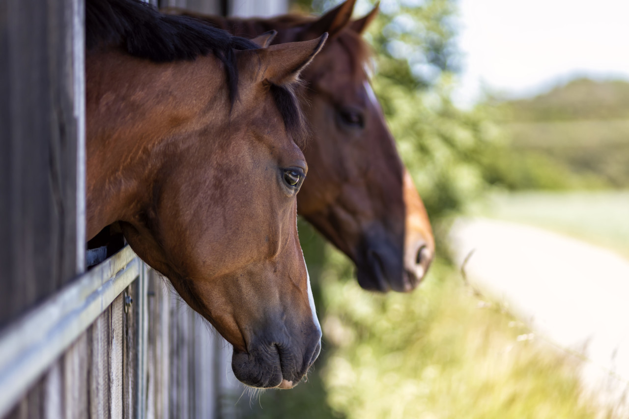 Portrait of a brown horse in a stable