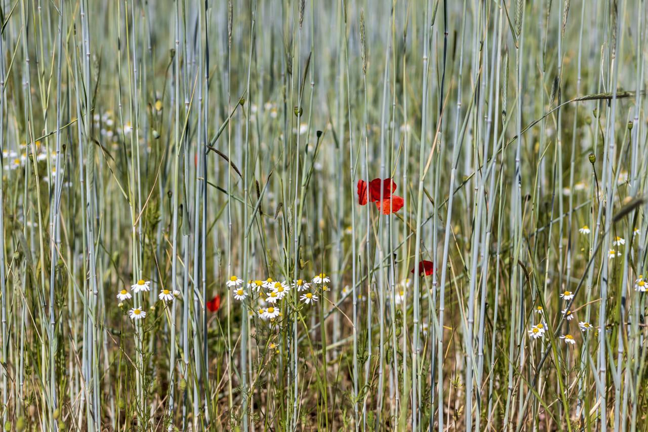 beautiful common red poppy flowers in a german field