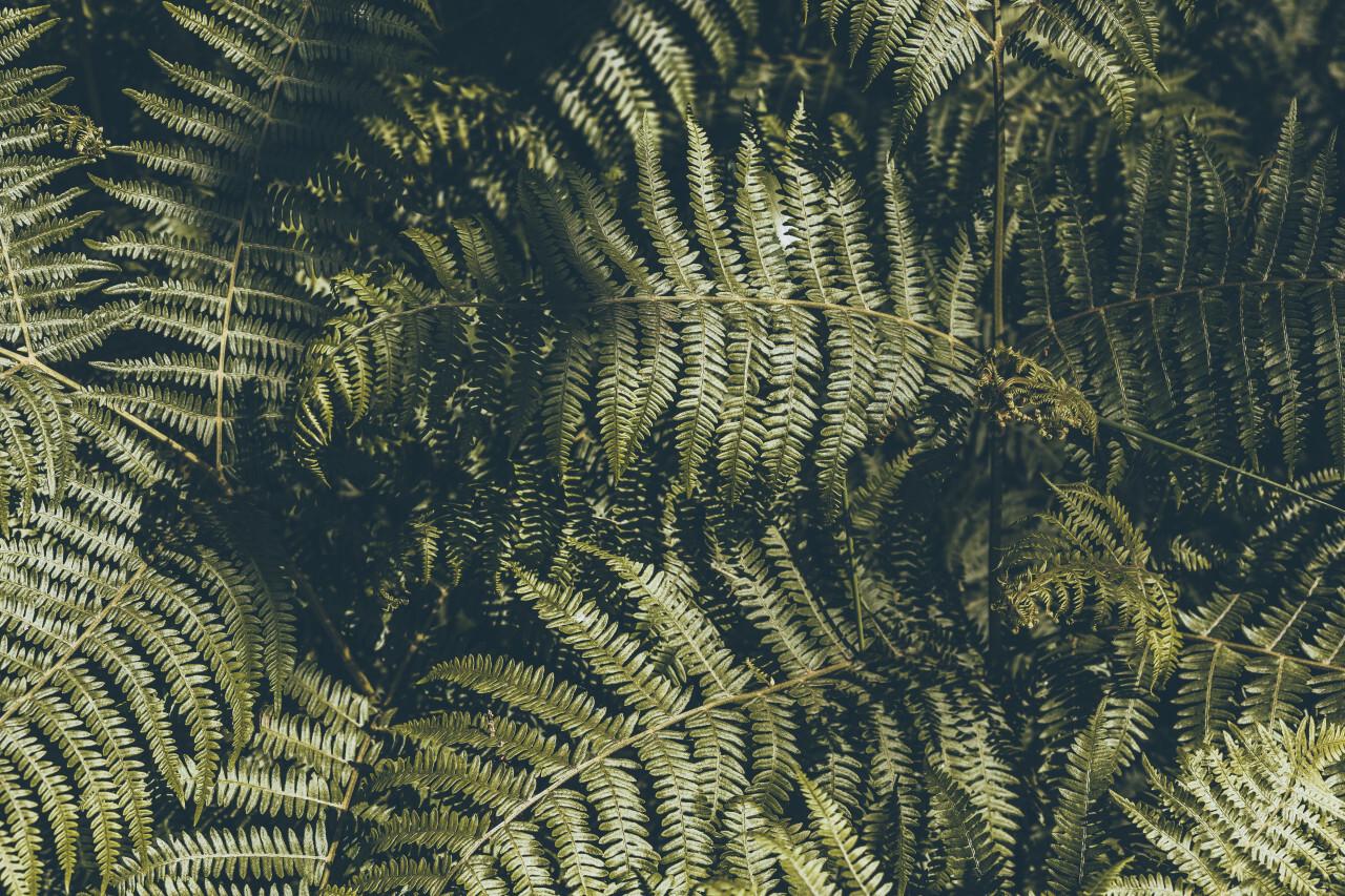 dark green fern leaves background