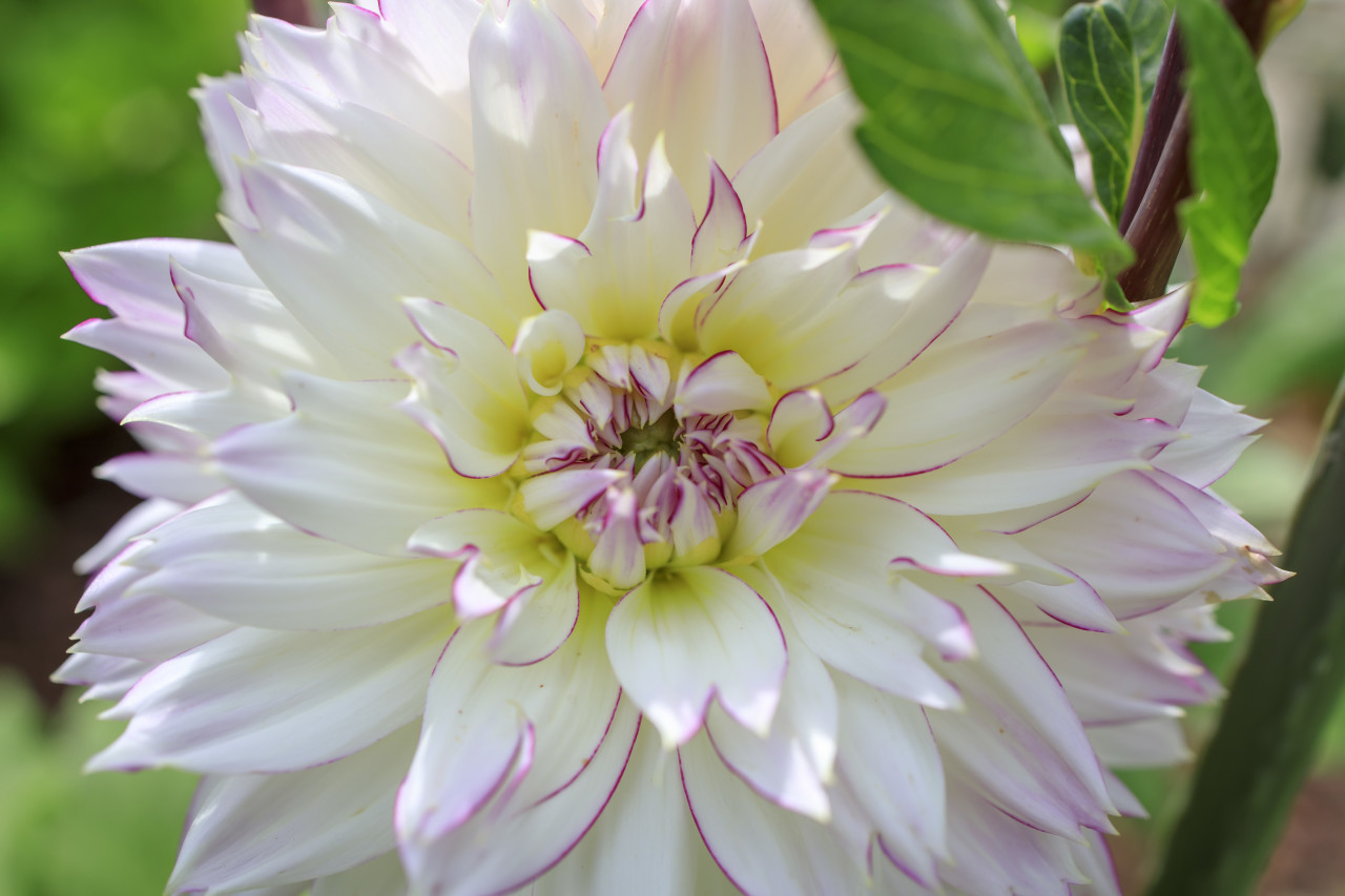 White Dahlia Flower in the Garden with leaves