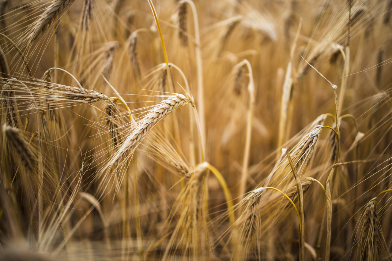 golden wheat field in summer close-up background
