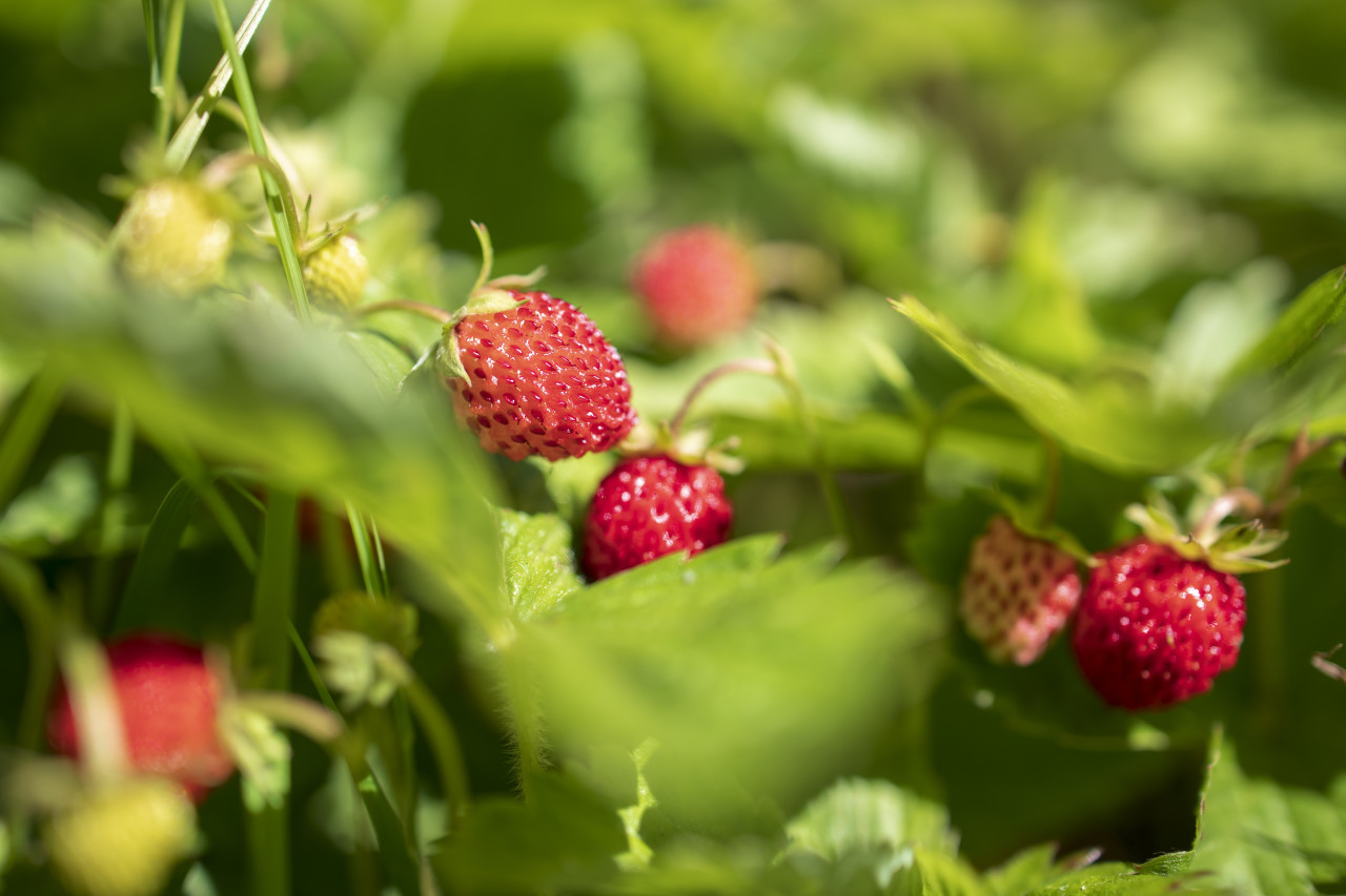 Wild strawberries on the branch in nature