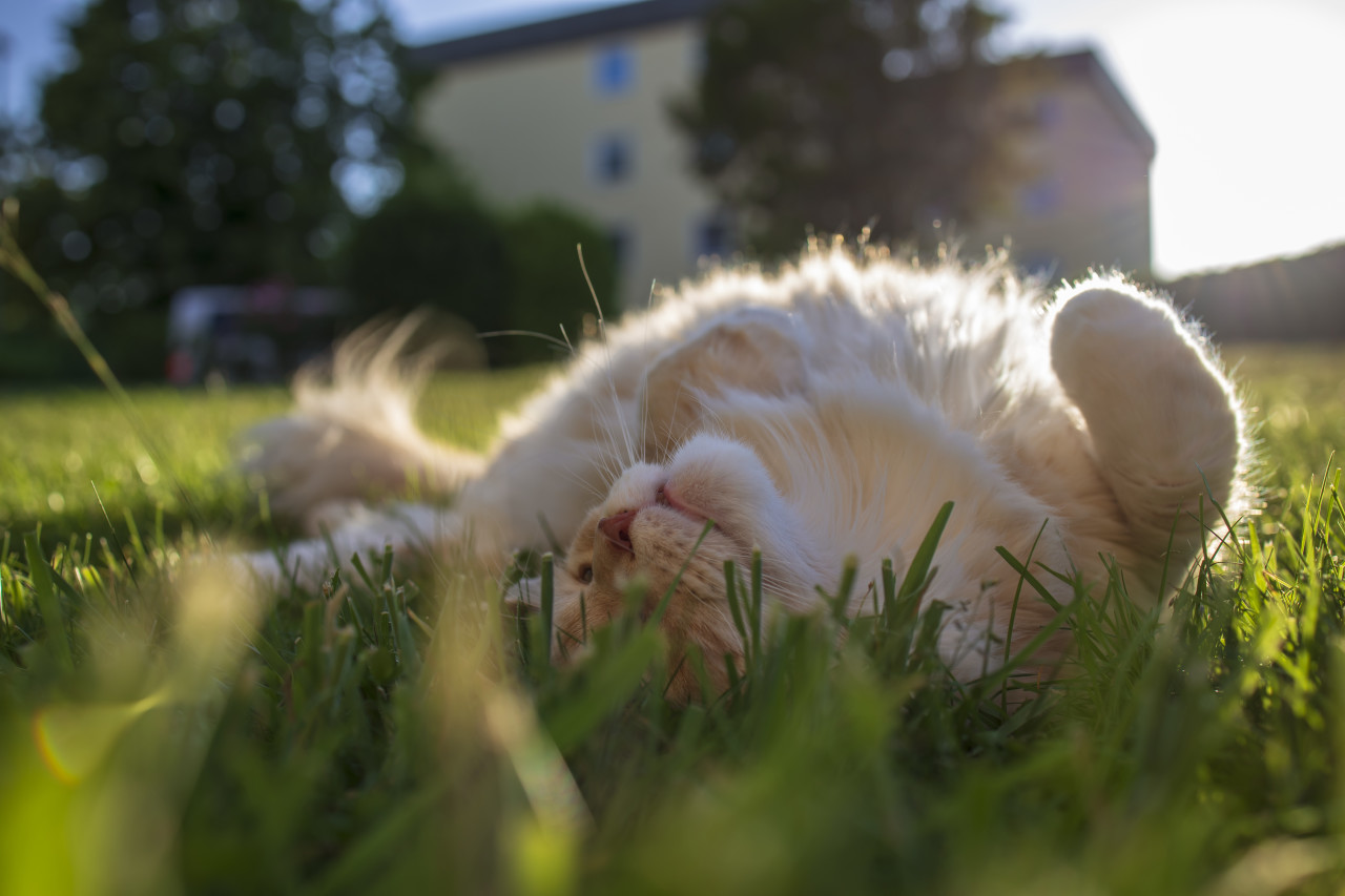 maine coon cat lies in the grass