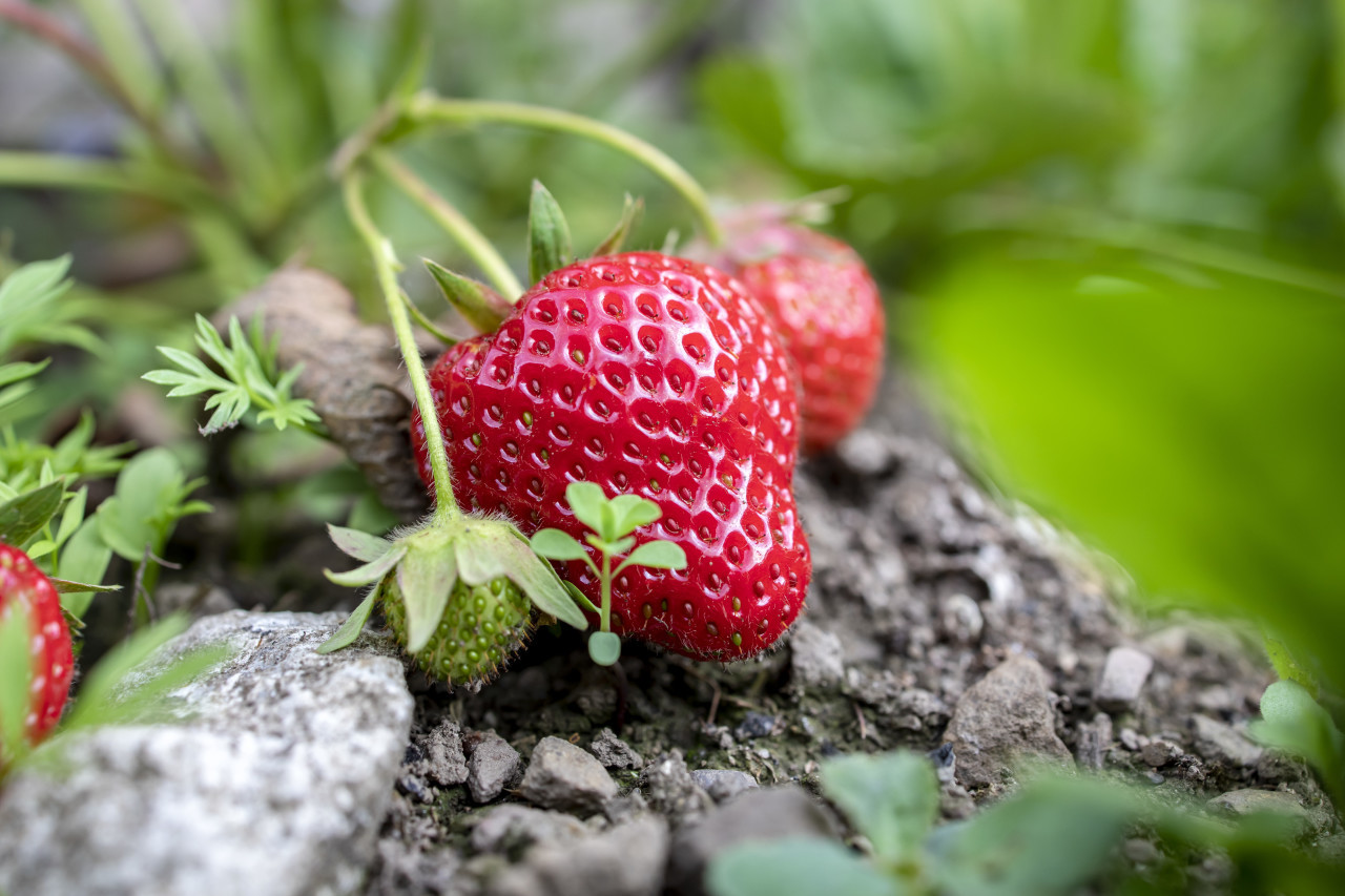 close up of strawberries from the field