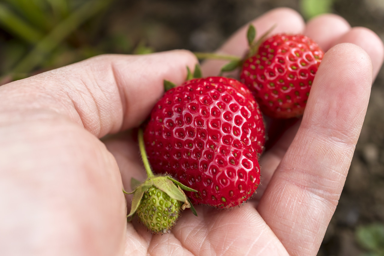 strawberries on a plant in a hand - gardening