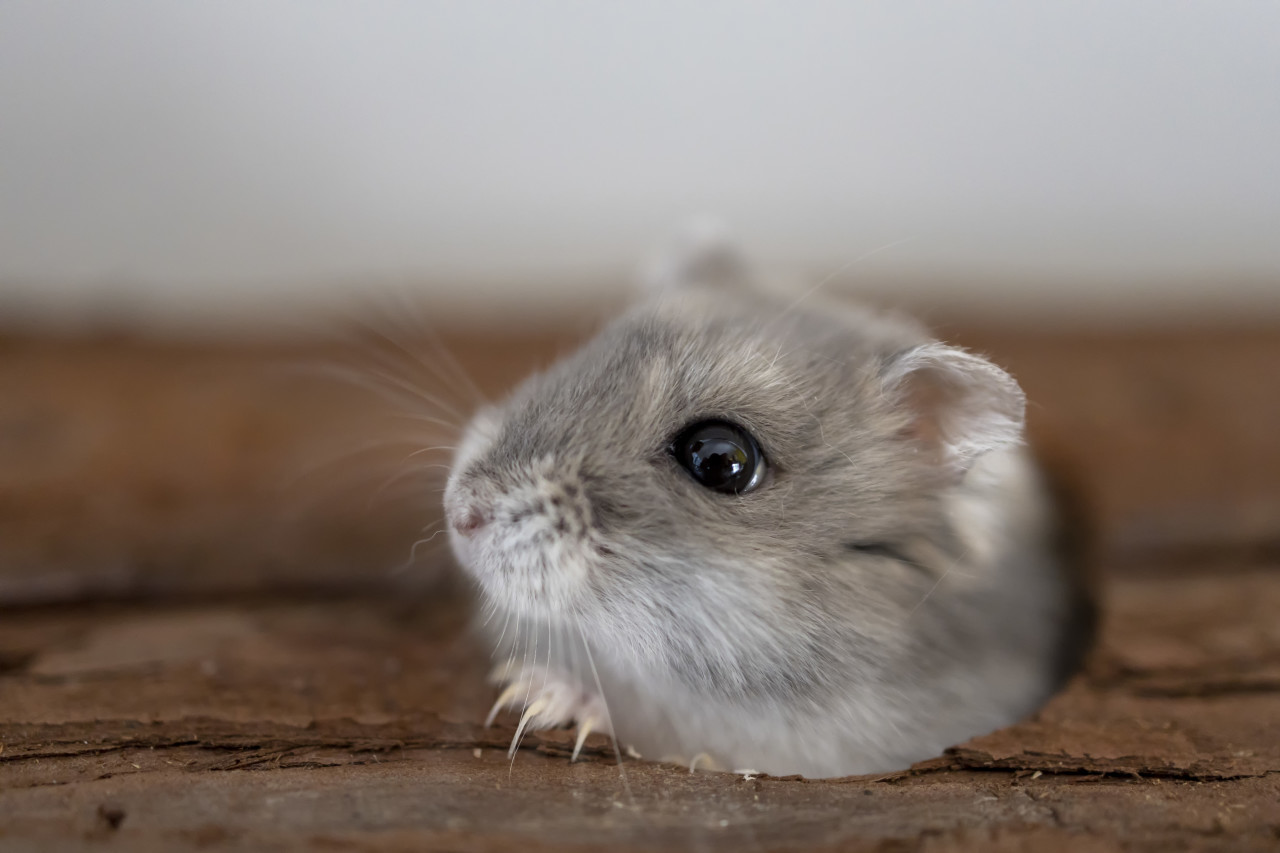 Hamster looks out of the hole in its hiding place