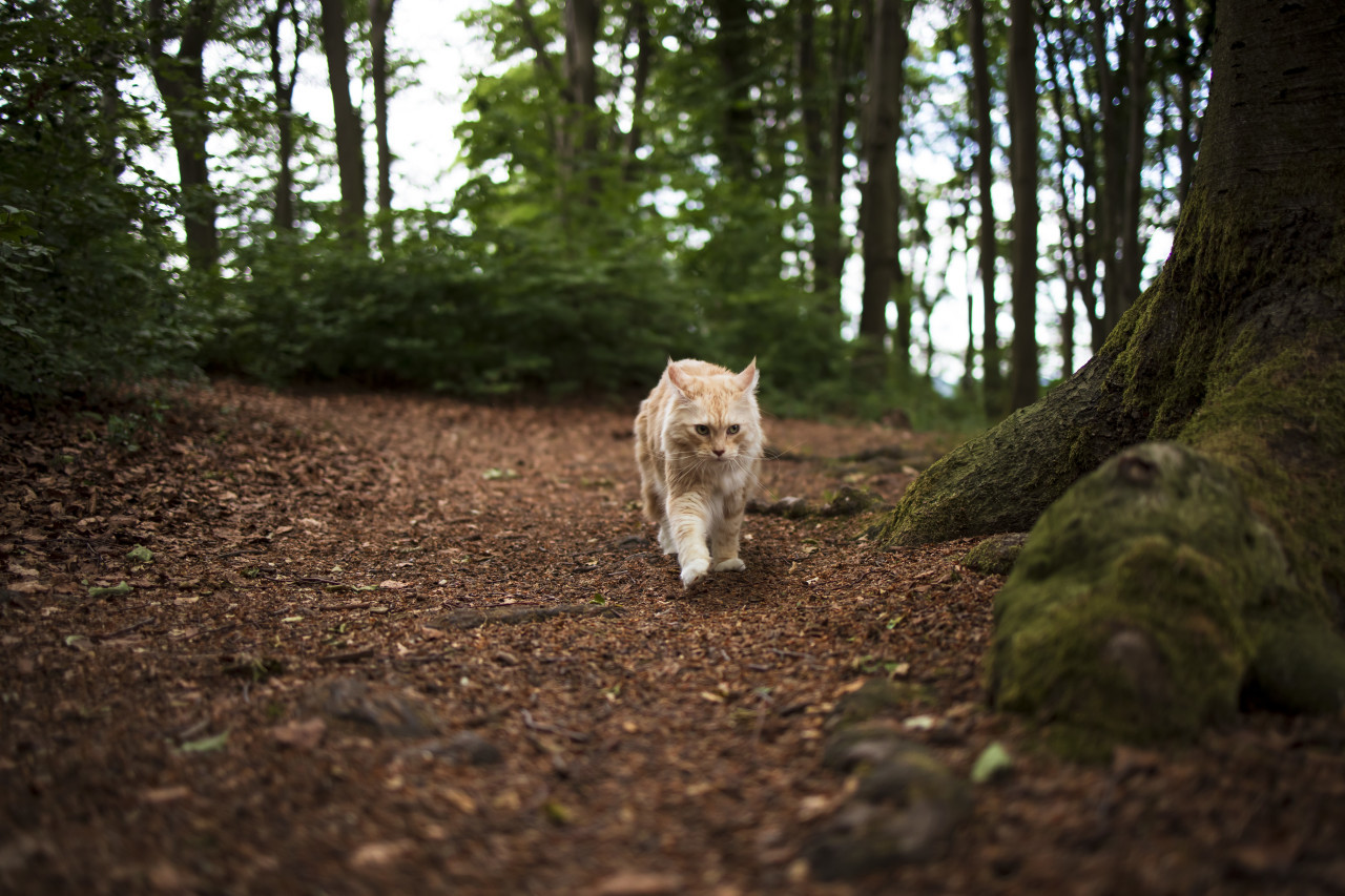 maine coon cat walks through the forest